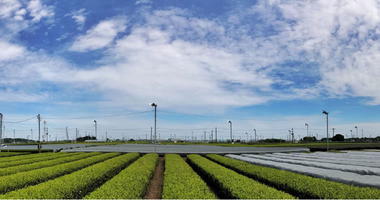 tea fields in Sayama